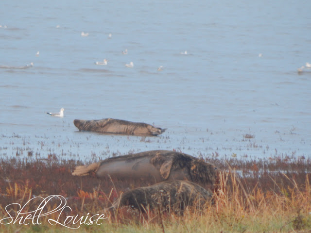 Donna Nook Nature Reserve - Seals on the beach and in the sea