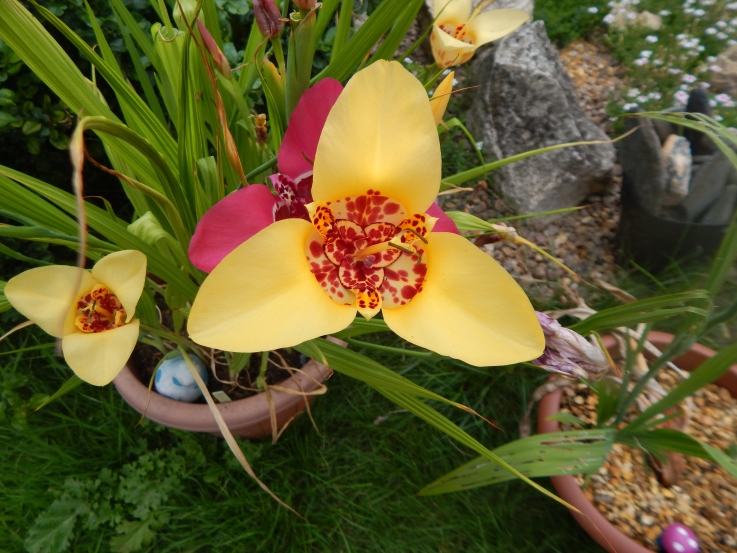 freesia flowers summer flowers