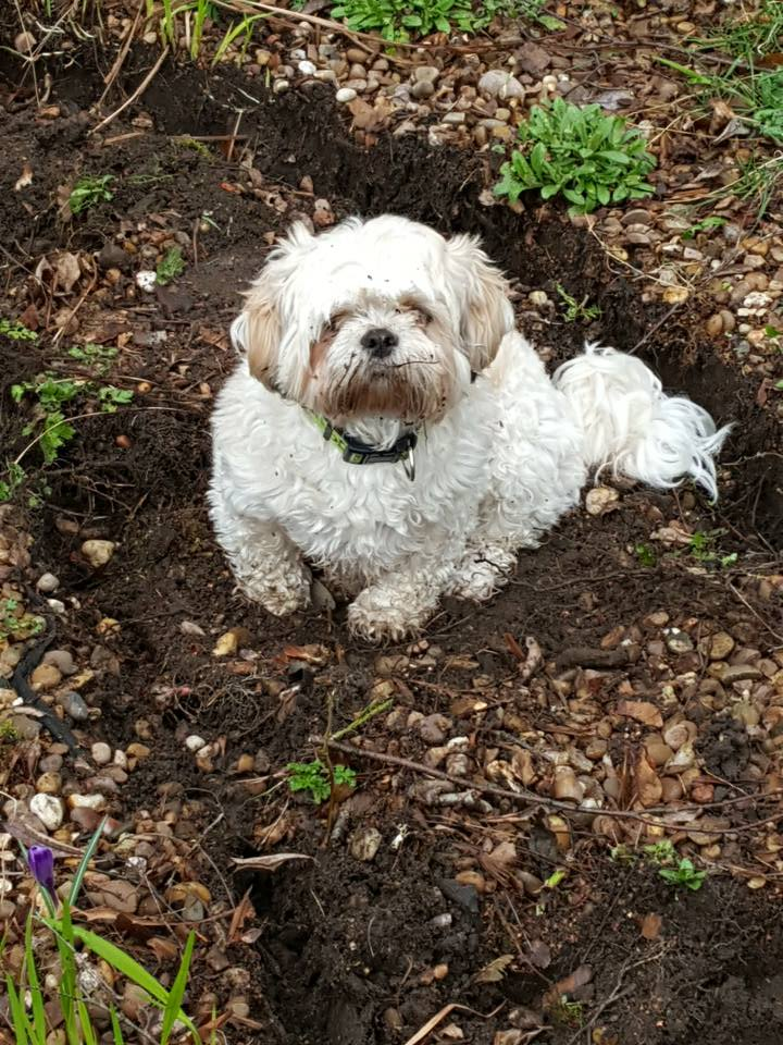 Chi-Chi getting dirty in the garden