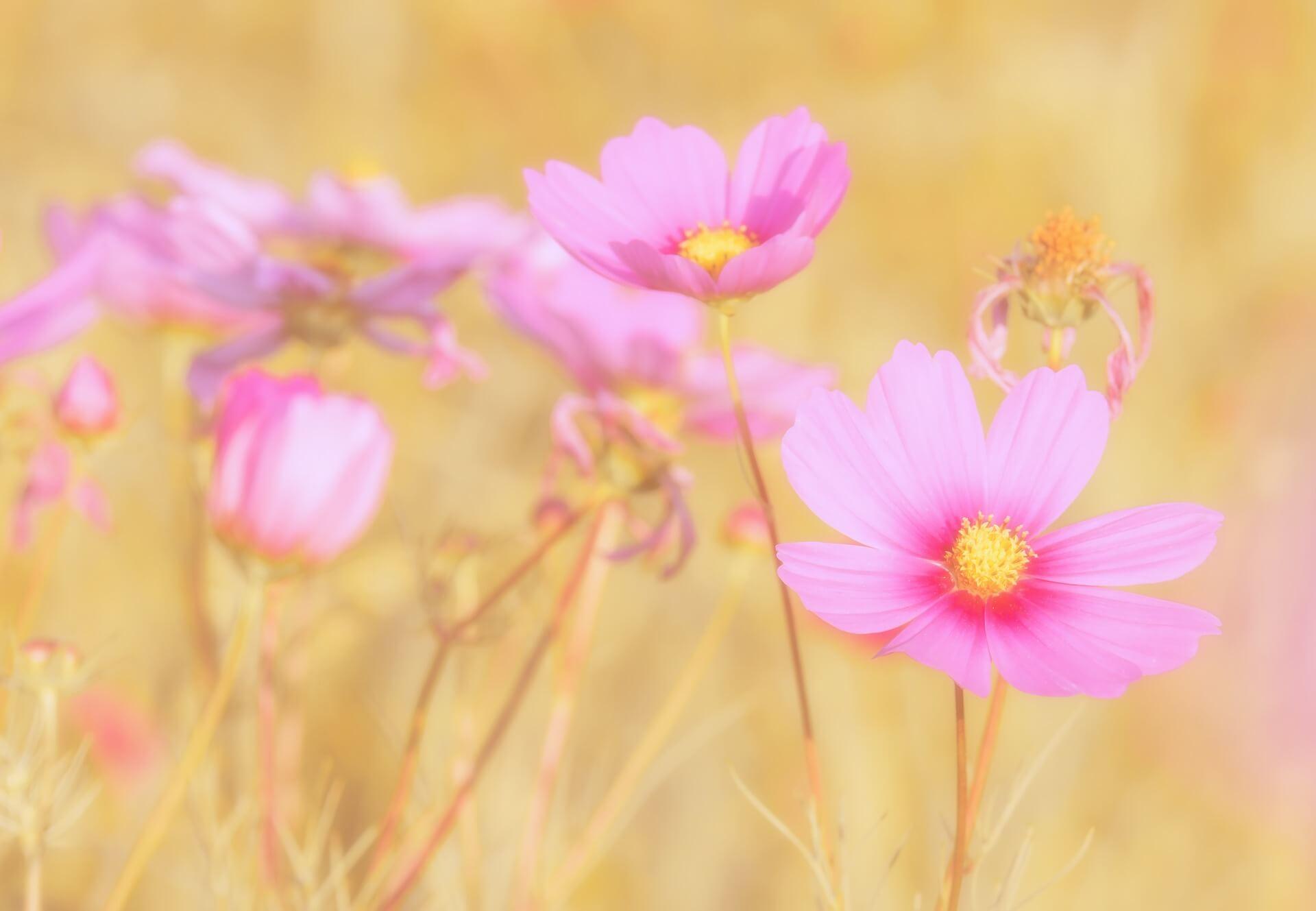 summer bedding plants - cosmos